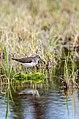 Solitary sandpiper in swamps.jpg