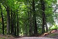 Some giant Meripilus giganteus (GB= Giant Polypore or Black-staining Polypore, D= Riesenporling, F= Polypore géant, NL= Reuzenzwam) at this Beech lane at Mariendaal Arnhem-Oosterbeek - panoramio.jpg