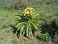 Sonchus canariensis (El Paso) 01 ies.jpg