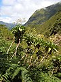 Sonchus fruticosus - Levada das 25 Fontes - 1.jpg