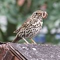 Song Thrush, Feeding time.JPG