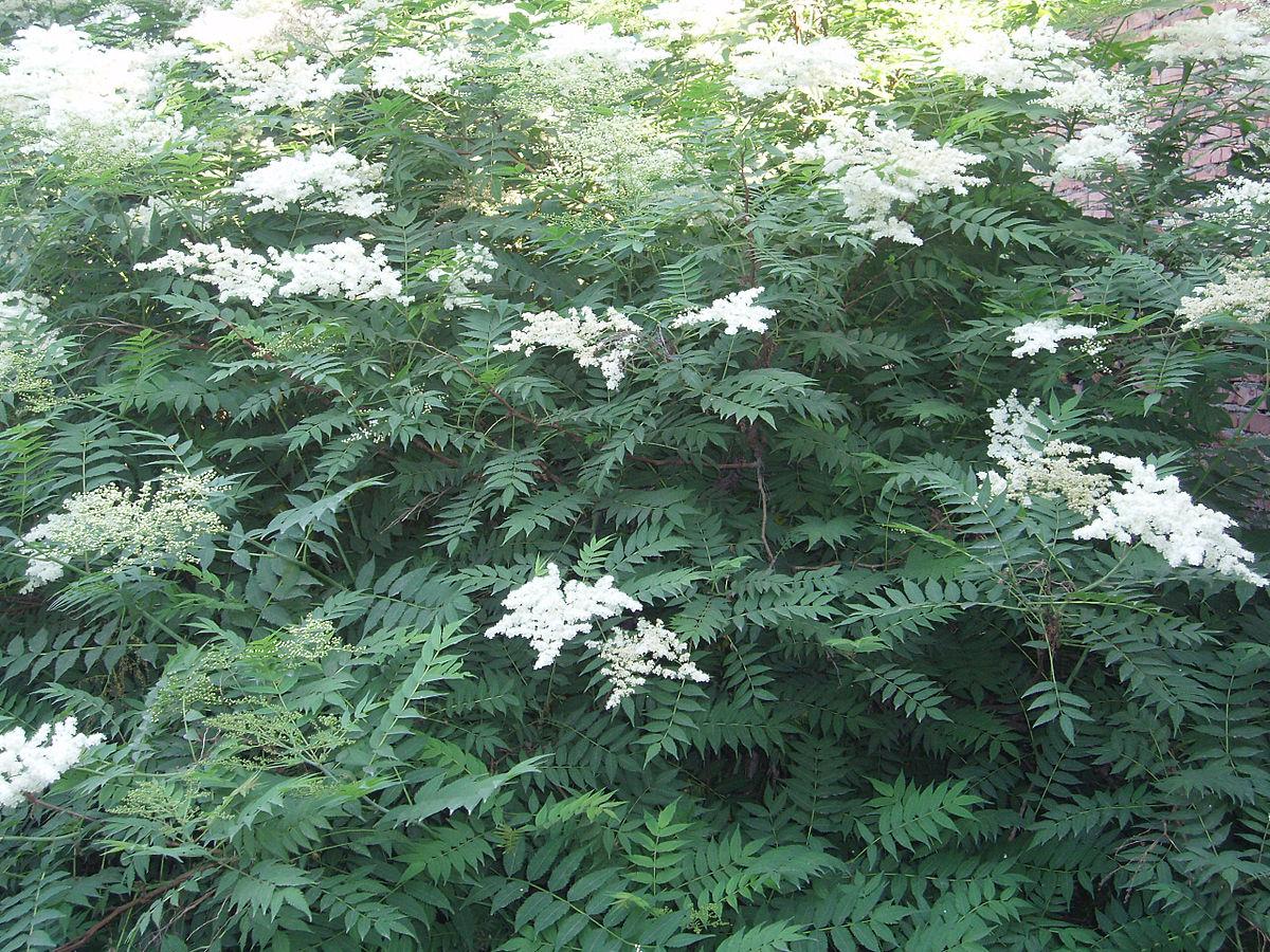 Sorbaria sorbifolia - Wikipedia