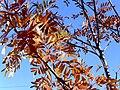 Sorbus aucuparia 2009-11-22 DehesaBoyaldePuertollano.jpg