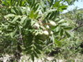 Sorbus domestica 21 juliol 06 051.jpg