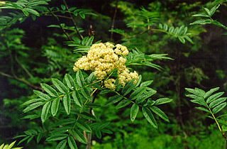 <i>Sorbus scopulina</i> species of plant