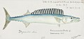 Southern Pacific fishes illustrations by F.E. Clarke 26.jpg