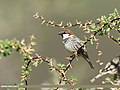 Spanish Sparrow (Passer hispaniolensis) (35000545995).jpg