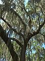 Spanish moss in live oak - Flickr - pellaea.jpg