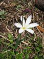 Sparaxis bulbifera (Flower) 2.jpg
