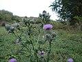 Spear Thistle - Cirsium vulgare - geograph.org.uk - 1513086.jpg