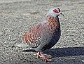 Speckled Pigeon RWD1.jpg