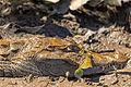 Spectacled Caiman - Baba (Caiman crocodilus) (8696830103).jpg