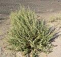 Sphaeralcea angustifolia 1.jpg
