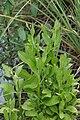 Sphaeranthus africanus 06751.jpg