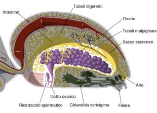 Spider internal anatomy