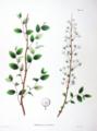 Spiraea prunifolia SZ70.png