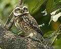 Spotted Owlet (Athene brama) - Flickr - Lip Kee (6).jpg