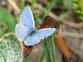 Spring Azure-male.jpg