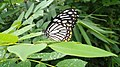 Sri lanka's Butterfly.jpg
