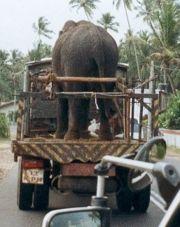 [img width=180 height=227]http://upload.wikimedia.org/wikipedia/commons/thumb/b/b6/Srilanka_elephant_transport.jpg/180px-Srilanka_elephant_transport.jpg[/img]