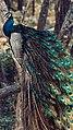 Srilankan Peacock (Male).jpg