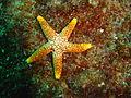 Starfish at Batfish pinnacle dsc04289.jpg