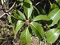 Starr-011028-0005-Lophostemon confertus-leaves-Pololei Haiku-Maui (24516190246).jpg