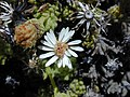 Starr-020625-0019-Tetramolopium humile subsp haleakalae-flower-Kalahaku HNP-Maui (24550114495).jpg