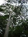 Starr-041024-0162-Eucalyptus sp-habit-Makawao Forest Reserve-Maui (24350574549).jpg