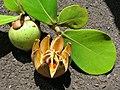 Starr-060922-9155-Clusia rosea-immature and ripe fruit-Kahului Airport-Maui (24238890723).jpg