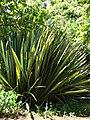 Starr-071024-0365-Phormium tenax-habit-Enchanting Floral Gardens of Kula-Maui (24894496185).jpg