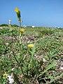 Starr-080602-5384-Sonchus oleraceus-flowering habit with Laysan albatross-Along coast east of Bulky Dump Sand Island-Midway Atoll (24885647946).jpg