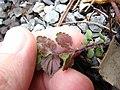 Starr-090401-5495-Veronica arvensis-leaf undersides-Olinda-Maui (24857604611).jpg