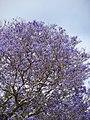 Starr-090513-7773-Jacaranda mimosifolia-flowering habit-Seabury Olinda-Maui (24955131605).jpg