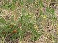 Starr-090707-2302-Solanum lycopersicum-fruit flowers and leaves-Waikapu-Maui (24968852885).jpg