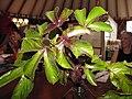 Starr-091028-8671-Jatropha gossypifolia-leaves-Kahului-Maui (24691609140).jpg