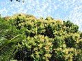 Starr-100113-1237-Mangifera indica-flowering habit with puffy clouds-Waihee-Maui (24913487121).jpg