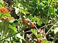 Starr-110215-1376-Jatropha podagrica-flowers and seeds forming-KiHana Nursery Kihei-Maui (24445541614).jpg