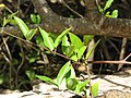 Starr-110307-1954-Lonicera japonica-leaves-Kula Botanical Garden-Maui (24781696810).jpg