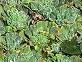 Starr-110307-2040-Pistia stratiotes-habit in koi pond-Kula Botanical Garden-Maui (24984148961).jpg