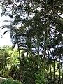 Starr-110330-3643-Chrysalidocarpus lutescens-habit-Garden of Eden Keanae-Maui (24449889994).jpg