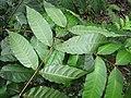 Starr-120229-2943-Toona ciliata-leaves-Waikapu Valley-Maui (24509484903).jpg