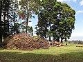 Starr-120510-5670-Lophostemon confertus-grove-Ka Hale Olinda-Maui (24774702559).jpg