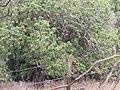 Starr-120608-7301-Litchi chinensis-habit-Ulupalakua Ranch-Maui (40463078625).jpg