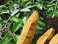 Starr-130312-2249-Chrysophyllum cainito-leaves backside showing copper color-Pali o Waipio Huelo-Maui (24911376150).jpg