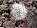 Starr-130514-2100-Taraxacum officinale-seedhead-Science City-Maui (25210840025).jpg