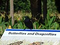 Starr-160717-0159-Thalia geniculata-with Red Winged Blackbird on interpretive sign-Green Cay Nature Center Boynton Beach-Florida (29043423393).jpg