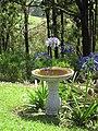 Starr-170513-8629-Agapanthus praecox subsp orientalis-flowering habit with bird bath-Hawea Pl Olinda-Maui (35098417131).jpg