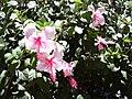 Starr 030702-0035 Hibiscus rosa-sinensis.jpg