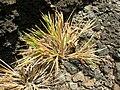 Starr 050419-6515 Panicum fauriei var. carteri.jpg